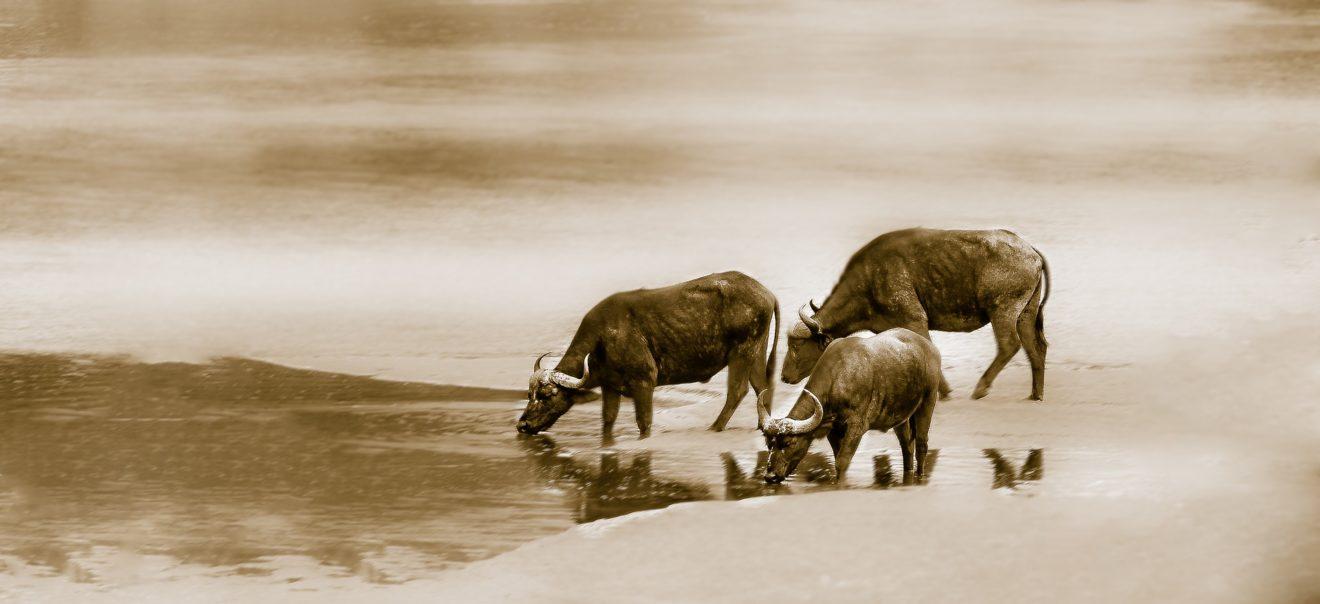 cape-buffalo-2877115_1920